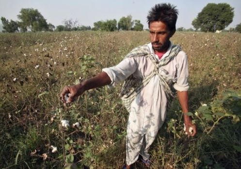 Farmer Darshan Singh plucks cotton from his damaged Bt cotton field on the outskirts of Bhatinda in Punjab, India, October 28, 2015. REUTERS/Munish Sharma